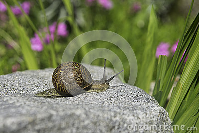A Snail over a stone