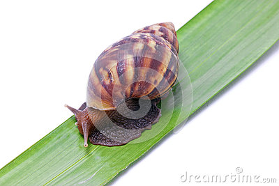 Snail Walking On Green Leave.
