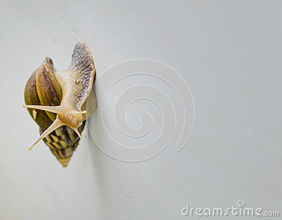 Snail walking on the wall