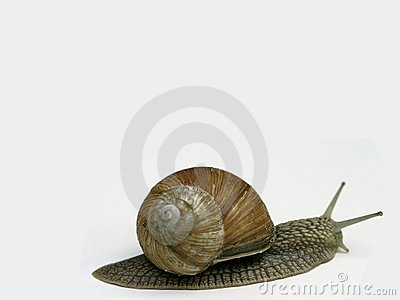 Snail on white background