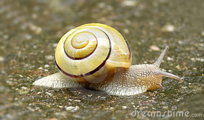 Snail with yellow shell