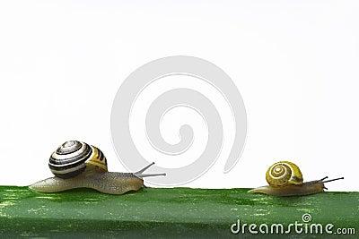 Snails walking on a leaf