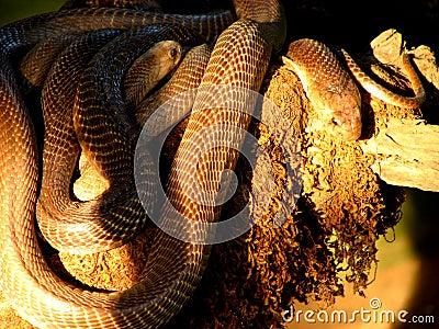 Snake Abundance