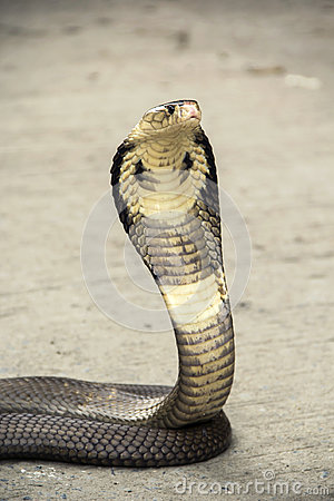 Free Snake Cobra Stock Images - 97799874