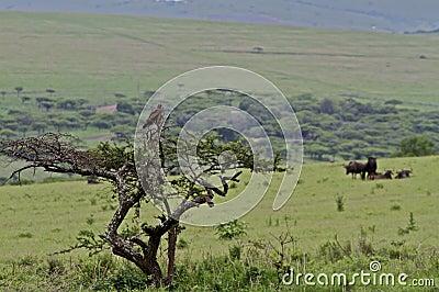 Snake eagle in tree overlooking savannah