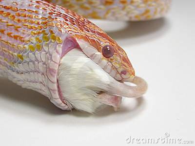 Snake eating a mouse