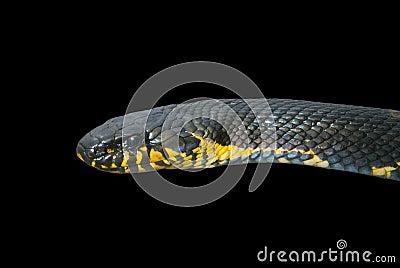 Snake (Elaphe schrenckii) 20