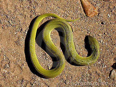 Snake Greens