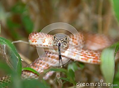 snake ready to strike