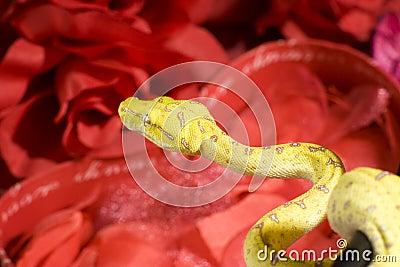 Snake in the roses
