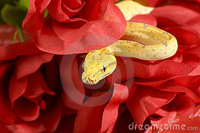 Snake in the roses