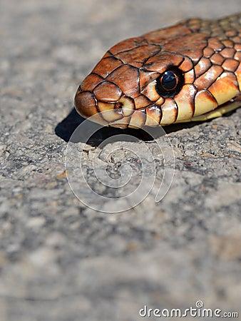 Snake s head