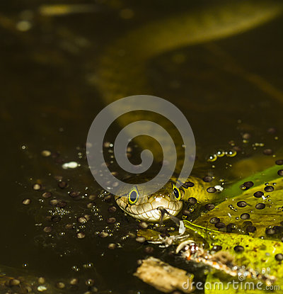 Snake in the water.
