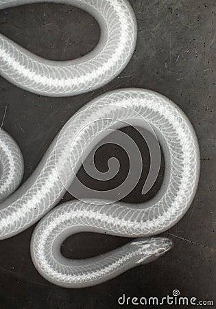 Snake X Ray