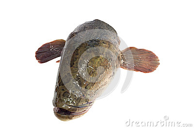 Snakehead is a ferocious fish