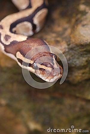 Snakes Head