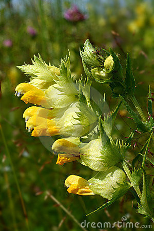 Free Snapdragon (Antirrhinum) Flower Stock Photography - 7972572