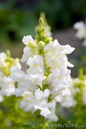 Free Snapdragon Flower Stock Images - 28398074