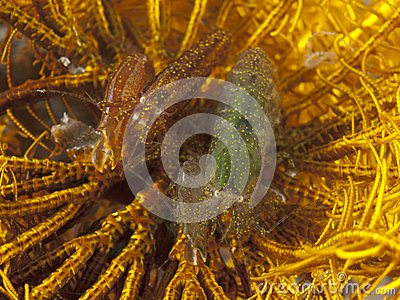 Snapping Crinoid Shrimp
