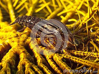 Snapping Crinoid Shrimp