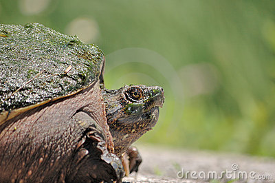 Nobody Told Me About the Snapping Turtles