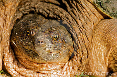 Snapping turtle close up.