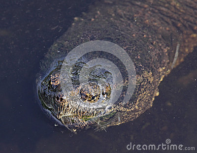 Snapping Turtle Face