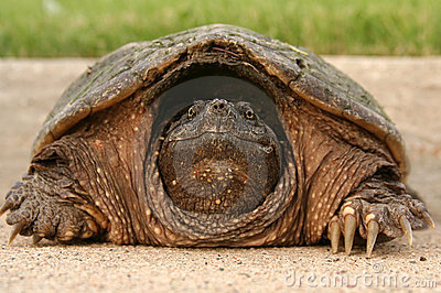 Snapping Turtle Head
