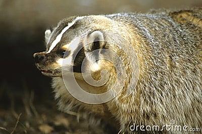 Snarling Badger