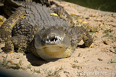 Snarling Crocodile