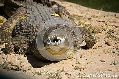 Snarling Crocodile
