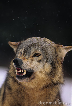 Free Snarling Gray Wolf Royalty Free Stock Photo - 8707355