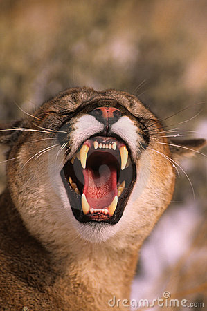 Snarling Mountain Lion