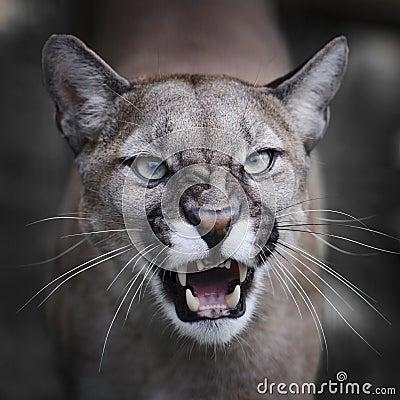 Snarling Puma