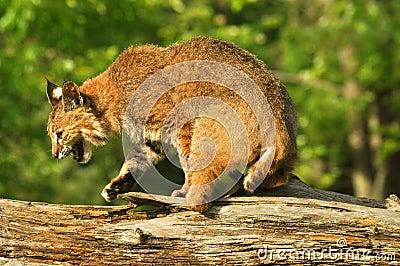 Snauwende lynx die een logboek kruist