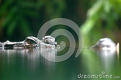 Sneaky crocodile