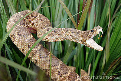rattle snake in tall grass