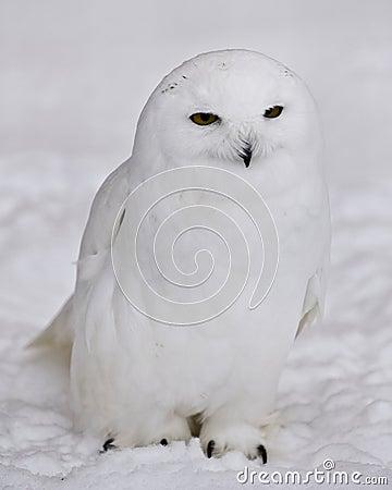 sneeuw uil stock afbeeldingen beeld 4185214