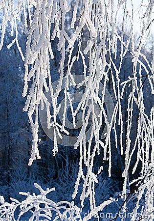 Sneeuw-vorst behandelde tak van berk