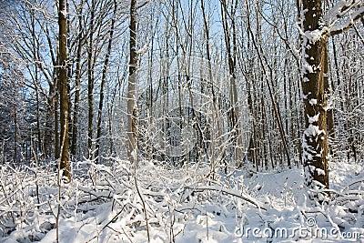 Sneeuwval in naakt bos