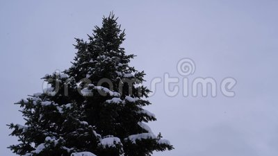 Sneeuwval op de achtergrond van hoge spar stock video