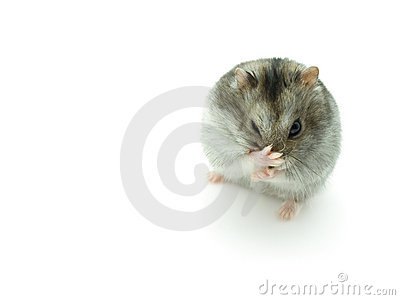 Sneeze hamster  isolated on white background.