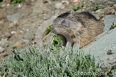 Sniffing Alpine Marmot