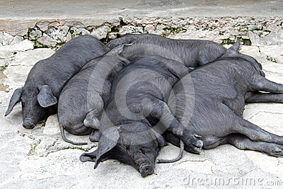 Snoozing Bunch of Black Iberian Pigs