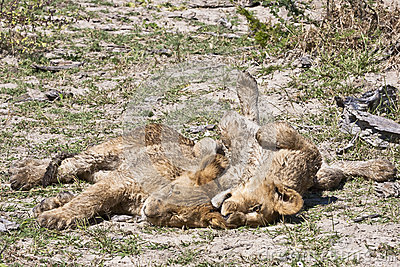 Snoozing wet lion cubs