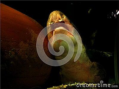 Snoring Shark