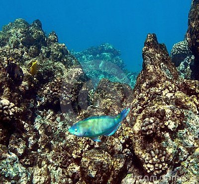 Free Snorkeling Ahihi Stock Image - 9134161