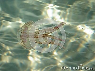 Snorkeling - Jellyfish
