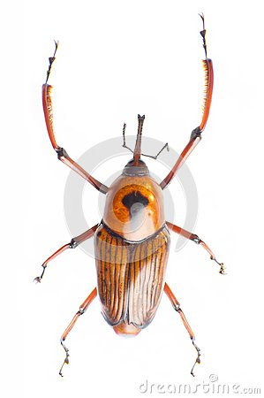Free Snout Beetle Stock Images - 29501434