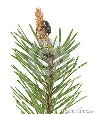 Snout beetle feeding on fir branch
